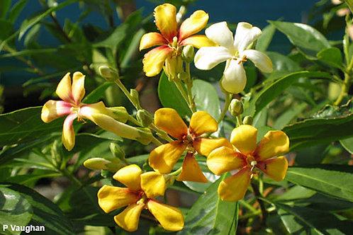 Native Frangipani - Hymenosporum Flavum