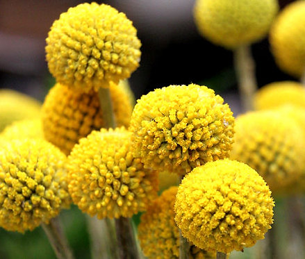 Billy Buttons - Pycnosorus globosus