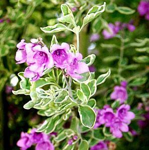 Prostanthera Ovalifolia Variegata