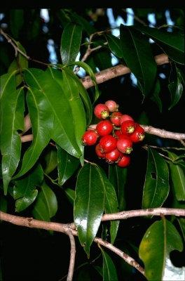 River Cherry - Syzygium Tierneyanum