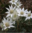 Actinotus helianthii.PNG