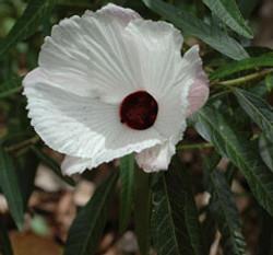 Hibiscus heterophyllus 2
