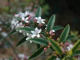Ruby Cascade Wax Flower -  Philotheca myoporoides