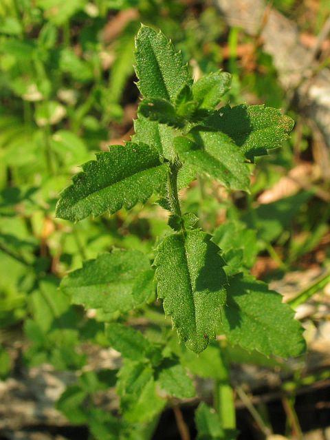 Gonocarpus Teucrioides
