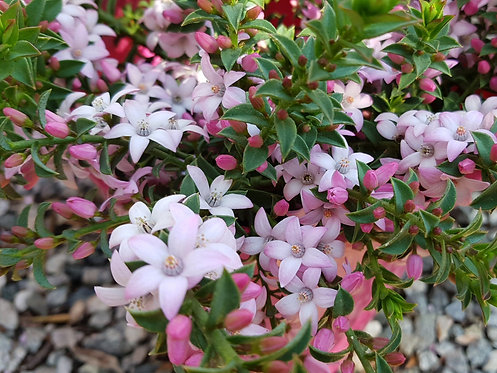 Philotheca buxifolia 'Cascade Of Stars – Wax Flower