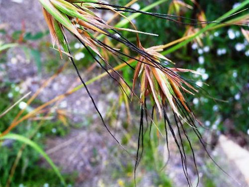 Kangaroo Grass - Themeda Triandra