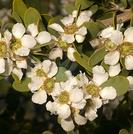 Leptospermum laevigatum.PNG
