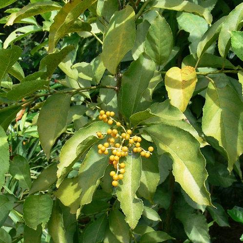 Ehretia Acuminata - Koda