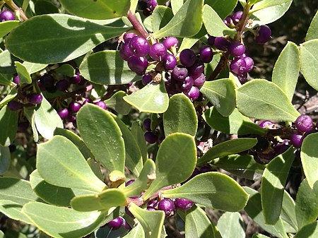 Myoporum Insulare - Boobialla