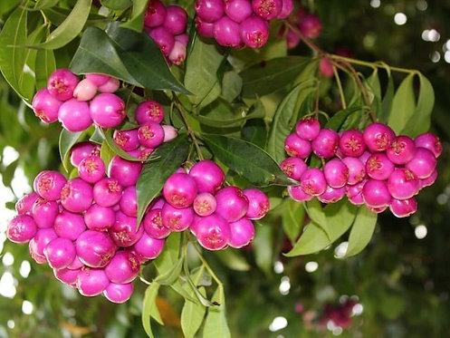Acmena smithii - Syzygium smithii