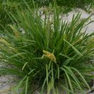 Lomandra longifolia.PNG