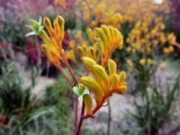 'Landscape Gold' Kangaroo Paw - Anigozathos