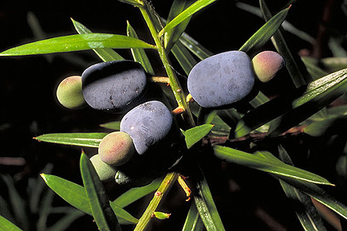 Dwarf Plum Pine - Podocarpus Spinulosus