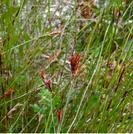 Leptocarpus tenax.PNG