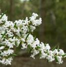Leucopogon ericoides.PNG