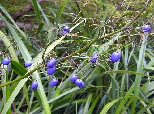Dianella caerulea - Blue Flax Lily