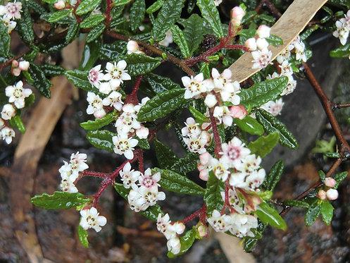 Rulingia Hermanniifolia