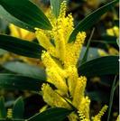 Acacia longifolia var sophorae.PNG