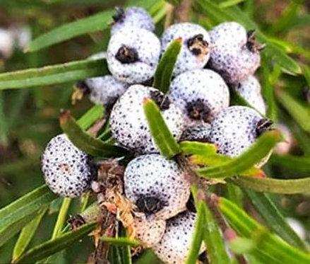 Austromyrtus Tenuifolia - Tall Midyim Berry