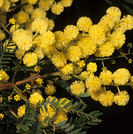 Acacia terminalis.PNG