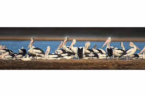 Pelicans at Coolmunda