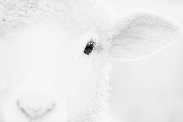 Lamb30x20web.jpg