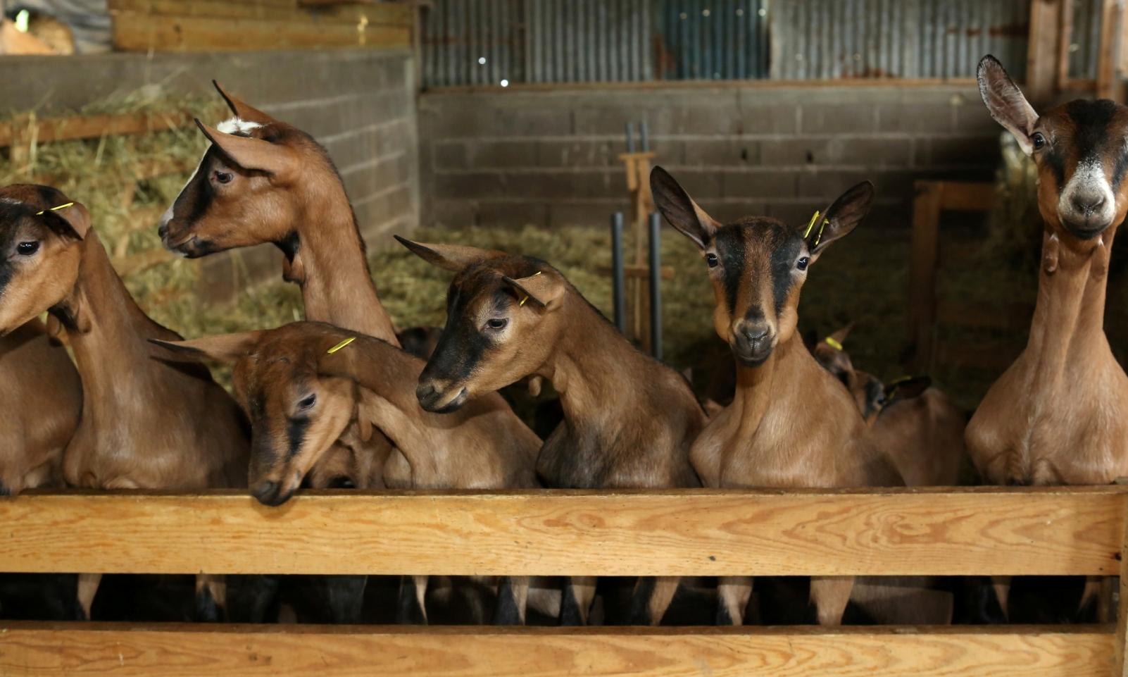 Les chèvres de la Basse Beuverie