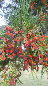 Kahikatea Tree berry's fully ripened.