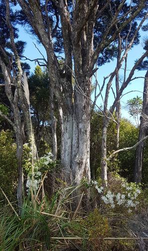 Big-old Kanuka (tea-tree) with NZ native Clematis at base.