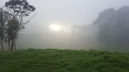 Grey Herons split the Huia dawn mist.
