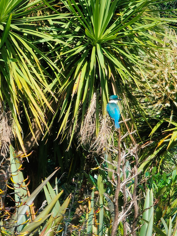 Kingfisher on Cabbage Tree.