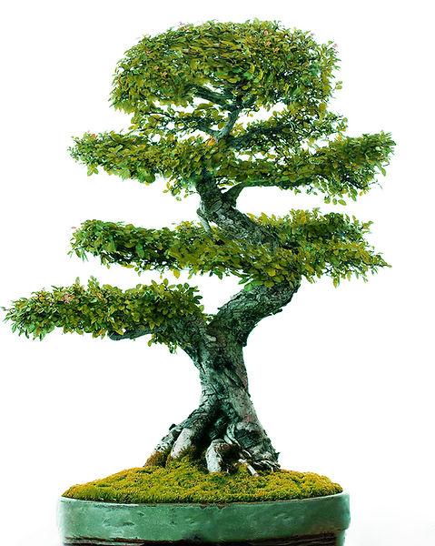 bonsaihintergrund.jpg