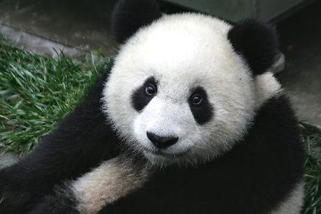 panda-649938_1280.jpg