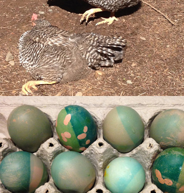 Easter Week with chickens