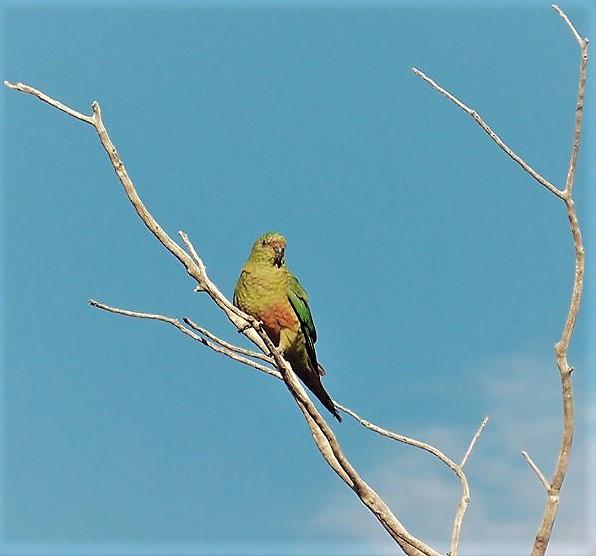 Austral Parakeet or Parot in patagonia