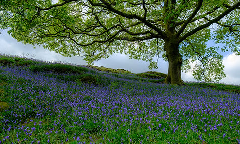 Bluebells .jpeg