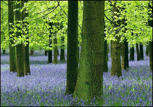 Bluebells 2.jpg