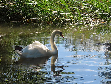 Swan image .jpg