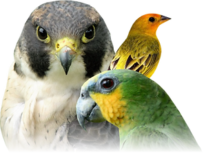 aves.png