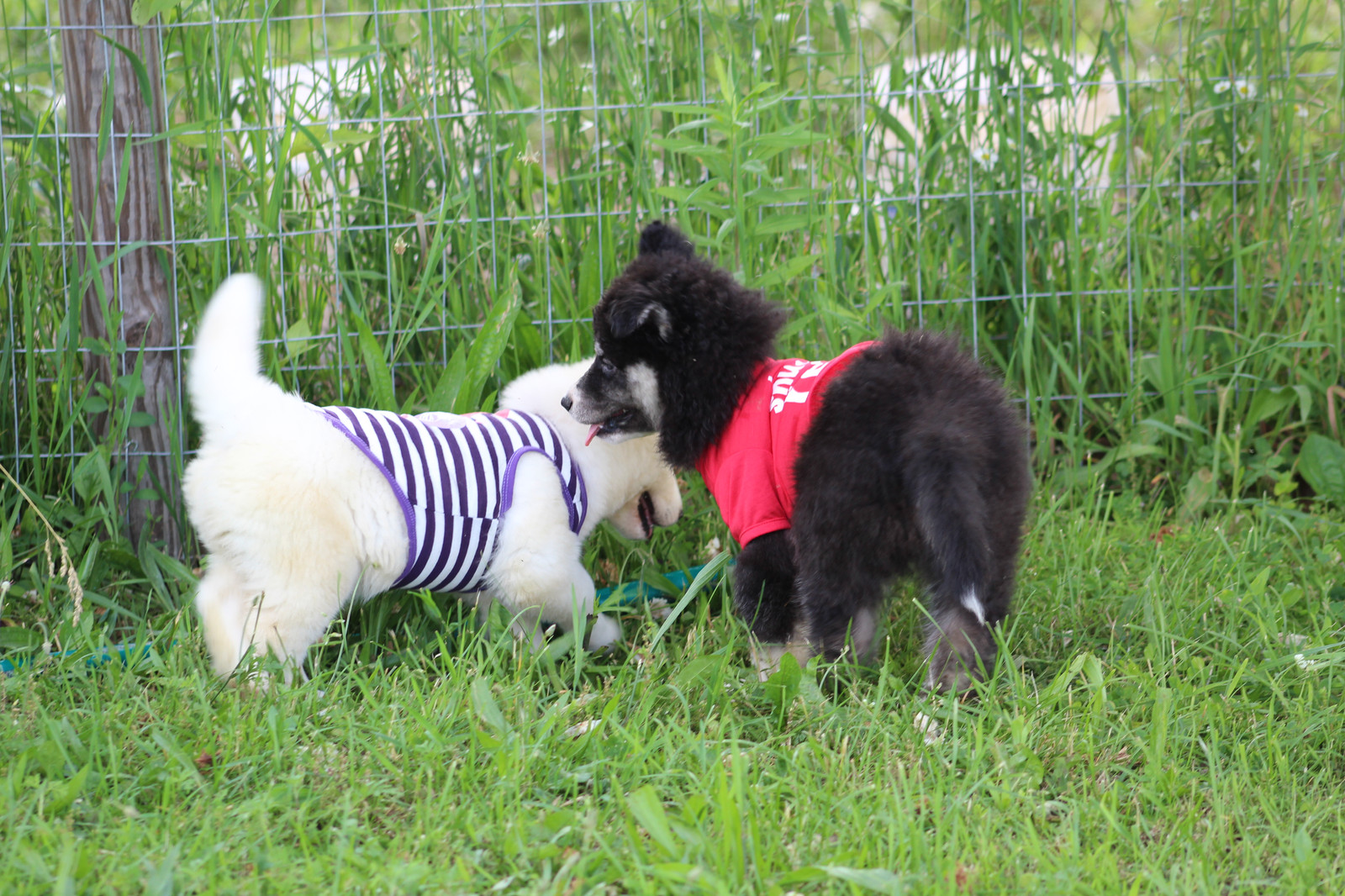 Fullscreen Page   Wooly Siberian Husky Puppies for Sale