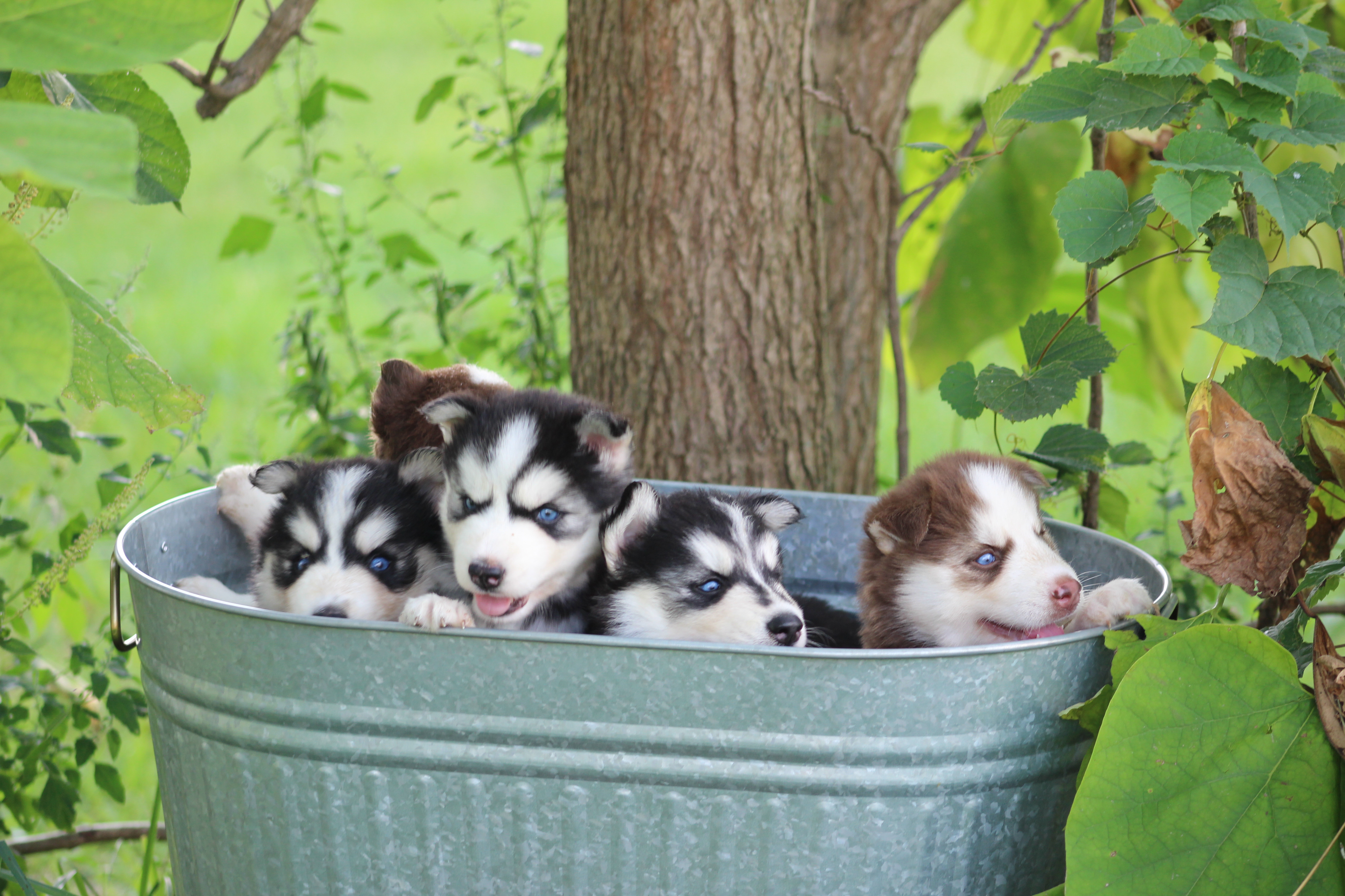 Wooly Siberian Husky Puppies For Sale Indiana Novel Siberians