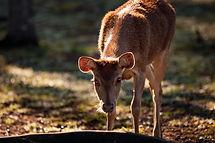 lake redbrook deer moluccan rusa