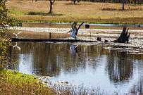 lake redbrook bird watching pelican