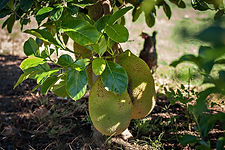 lake redbrook fruit orchard durian