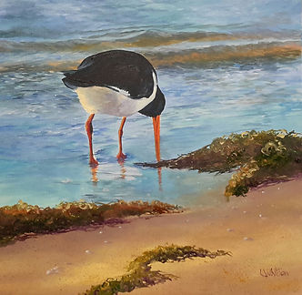 Pied Oystercatcher In the Evening Light.