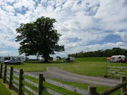 The oak tree field