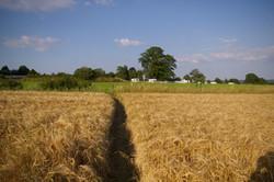 Surrounding barley field