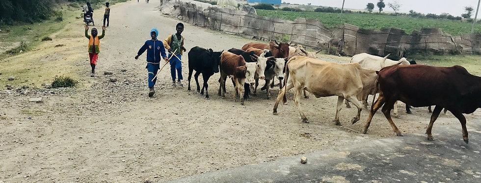 Raising & Selling Cows in Gutumuma