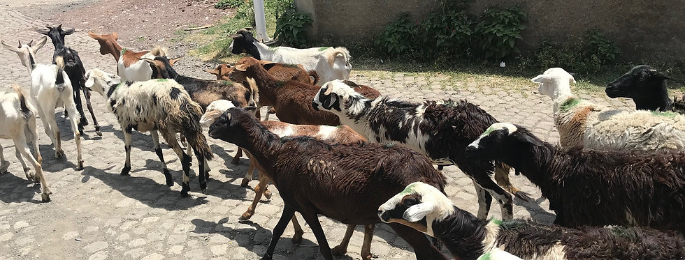Raising & Selling Goats in Gutumuma