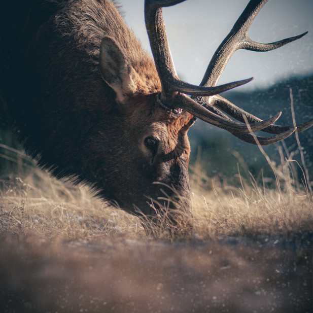 The Elk that nearly KILLED ME!!
